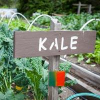 Growing Kale in a Garden